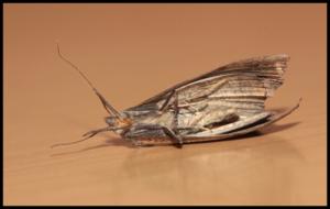 Schädling Motte (Tineola bisselliella)