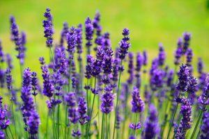 Lavendel gegen Kleidermotten